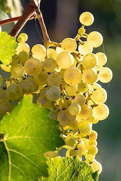 Rebsorte Glera Italien Hunfeld Wein