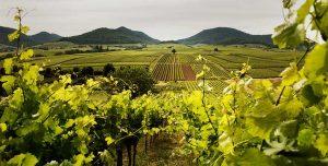 Weinregion Pfalz / Deutschland